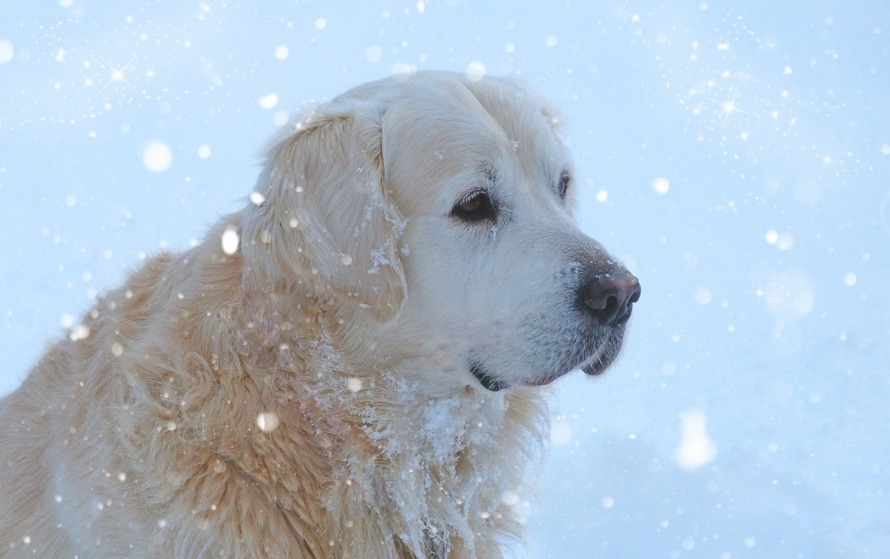 Golden Retriever in the Snow wallpapers