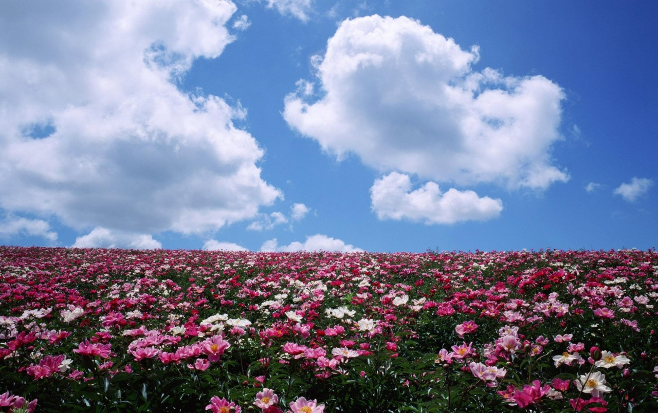 Pink Flower Field Sky Clouds Wallpapers Pink Flower Field Sky