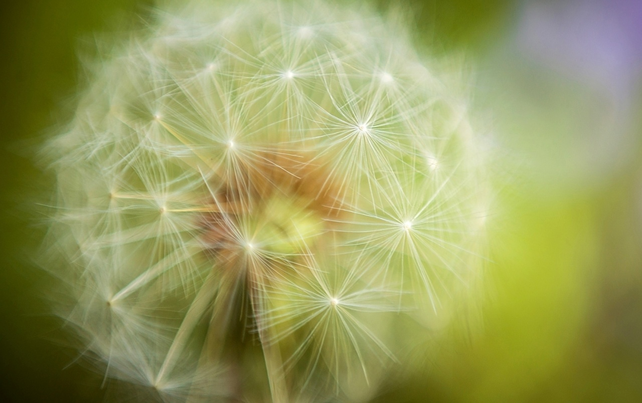 Beautiful Dandelion wallpapers