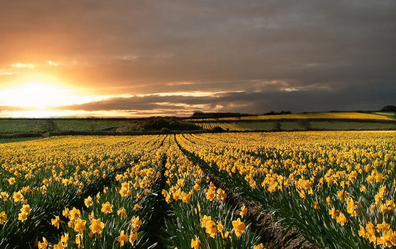 Daffodils Field Sunset Horizon wallpapers