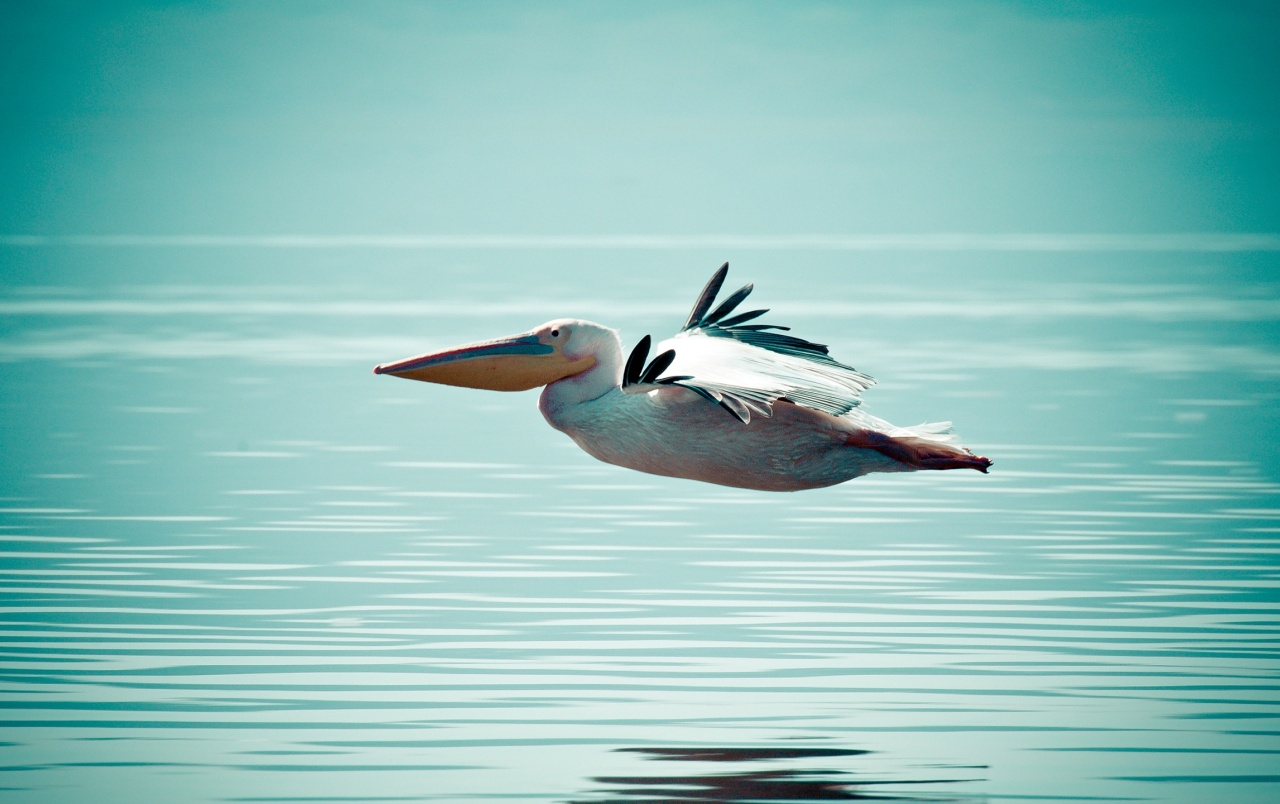 Pelican Flying over Water wallpapers
