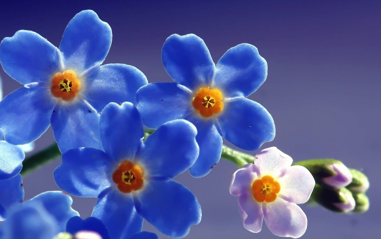 Blue Forget Me Not Flower wallpapers