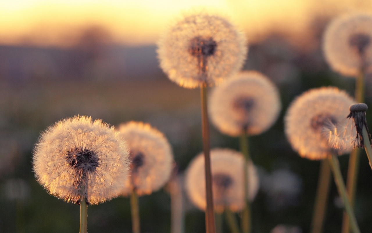 Summer Blurred Dandelions wallpapers