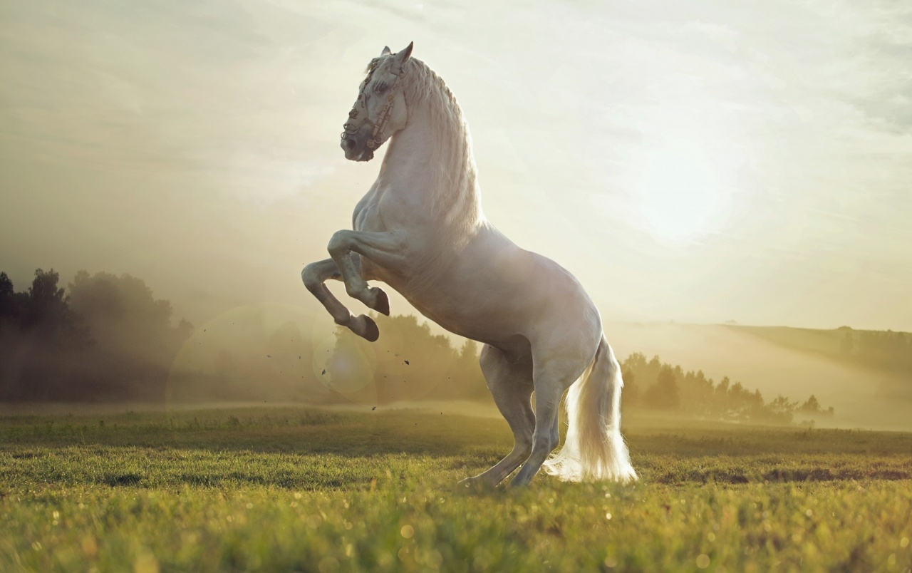beautiful white horse wallpapers | beautiful white horse stock photos