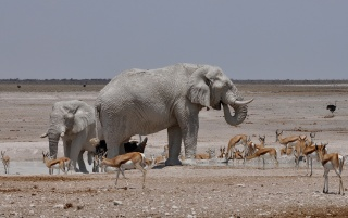 Elephants Gazelles wallpapers