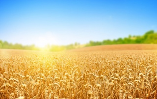 Wheat Field wallpapers