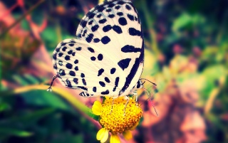 White Violet Butterfly wallpapers