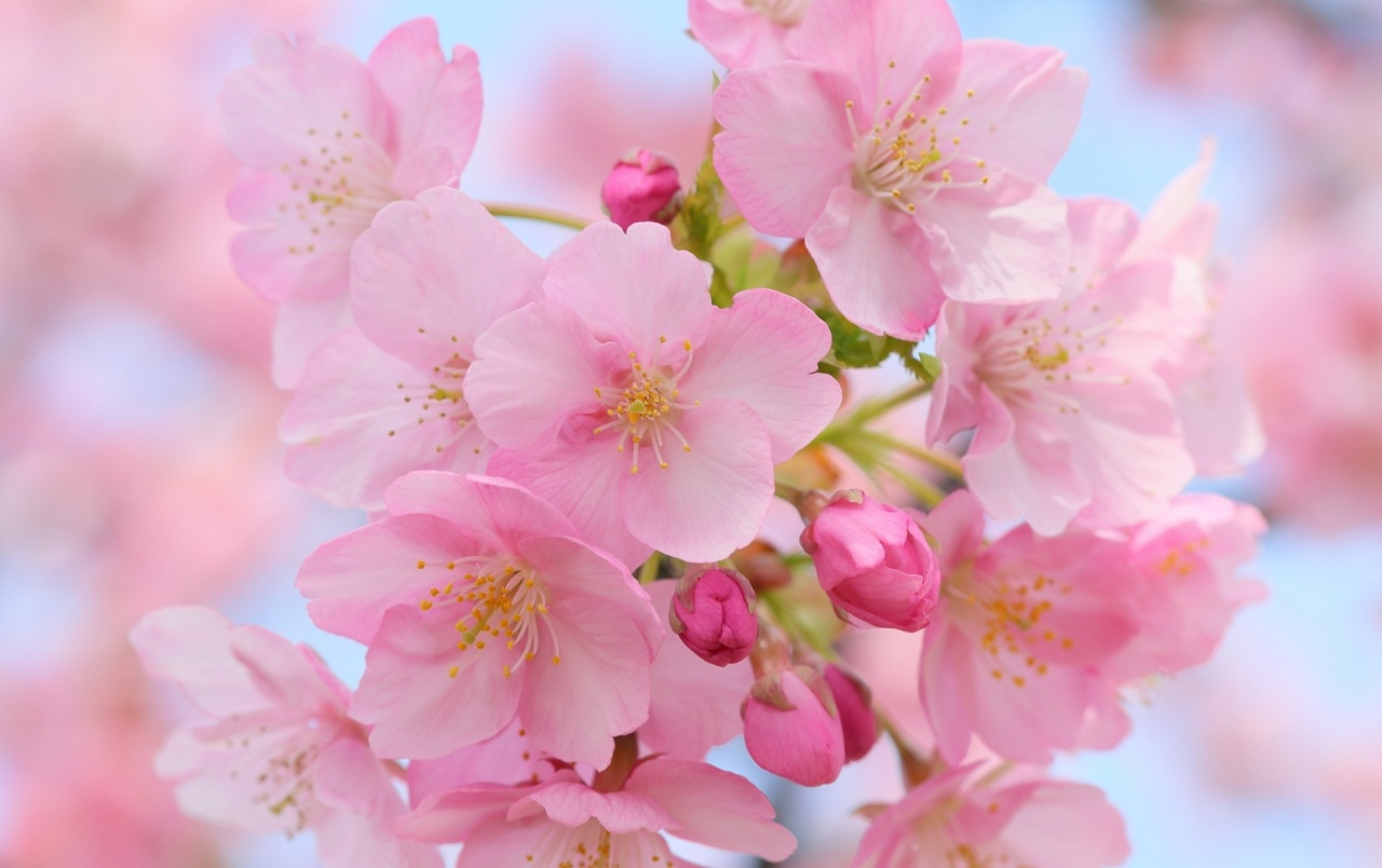 Pink cherry blossom wallpapers pink cherry blossom stock Cherry blossom pictures