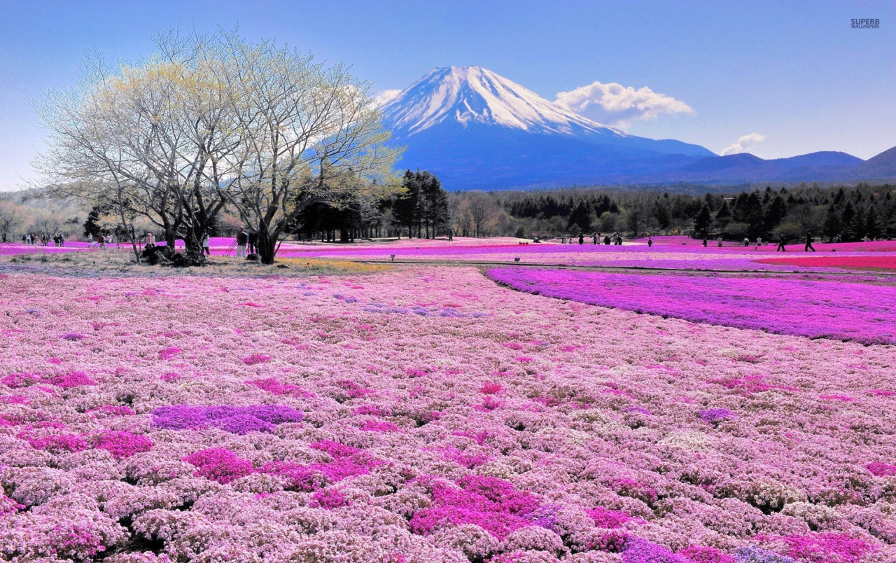 Pink Flower Field Mount Fuji Wallpapers Pink Flower Field Mount
