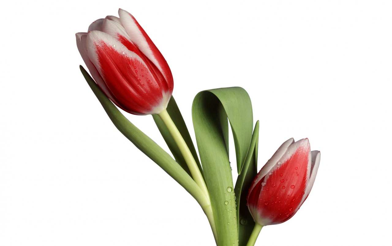 Tulip Model wallpapers