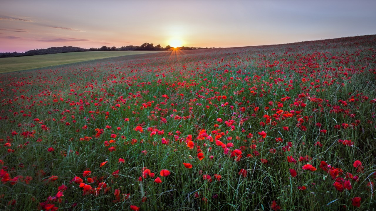 Poppy Meadow Wallpaper