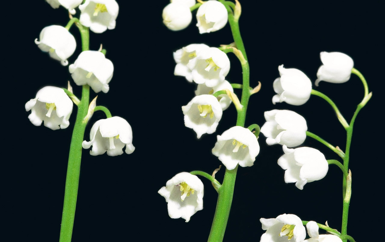 Lily Of The Valley Wallpapers Lily Of The Valley Stock Photos