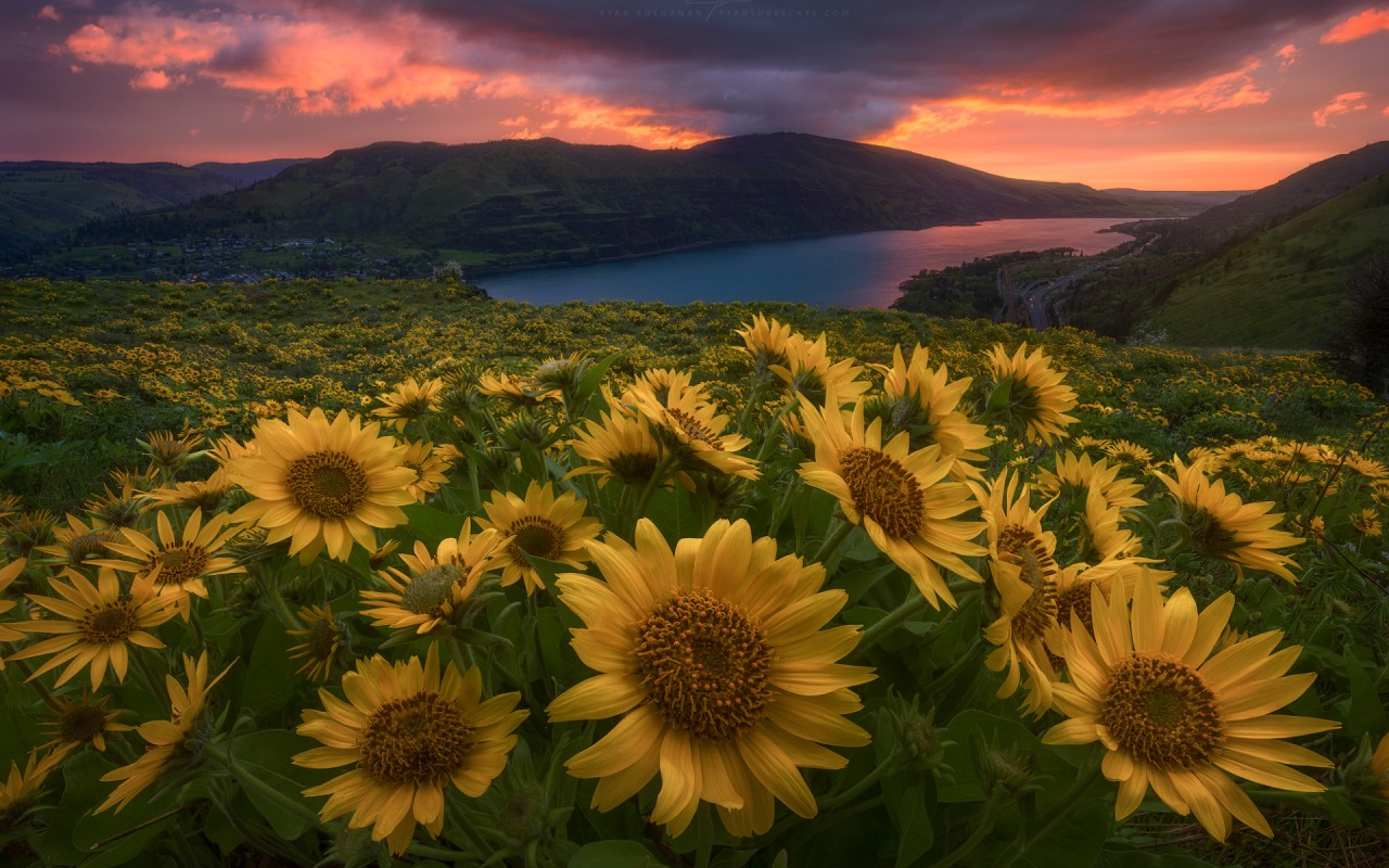 Perfect Sun Flowers River Dusk wallpapers