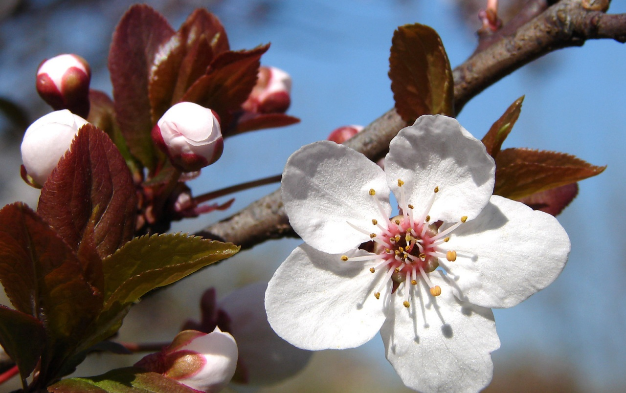 Plum Blossoms wallpapers