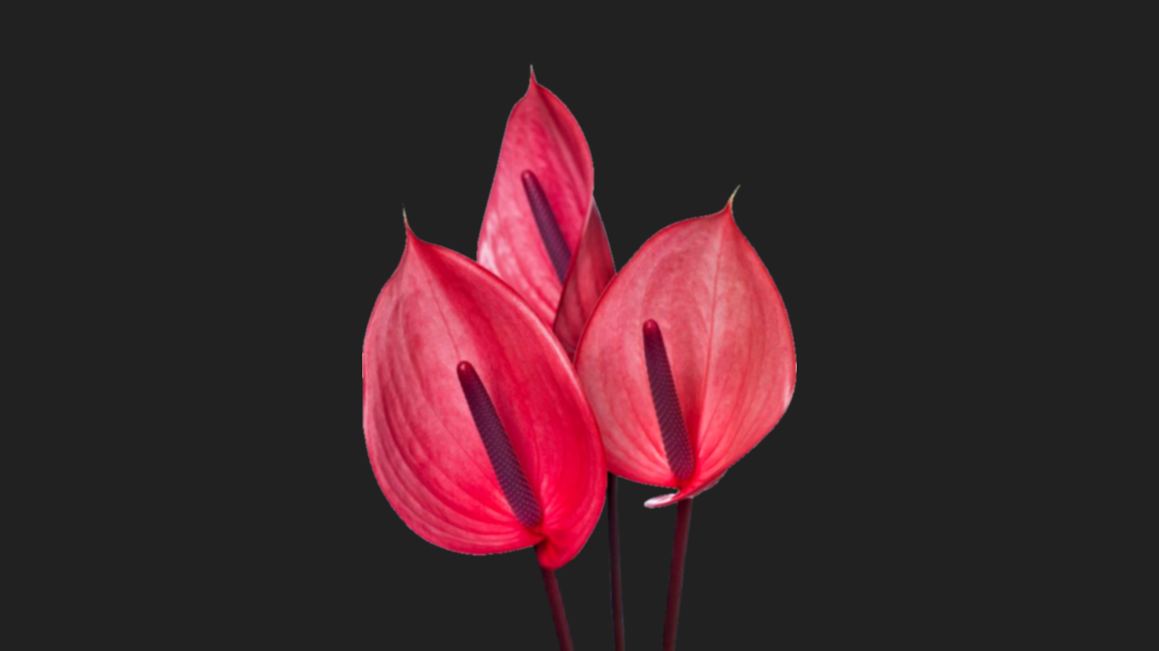 Anthurium wallpapers