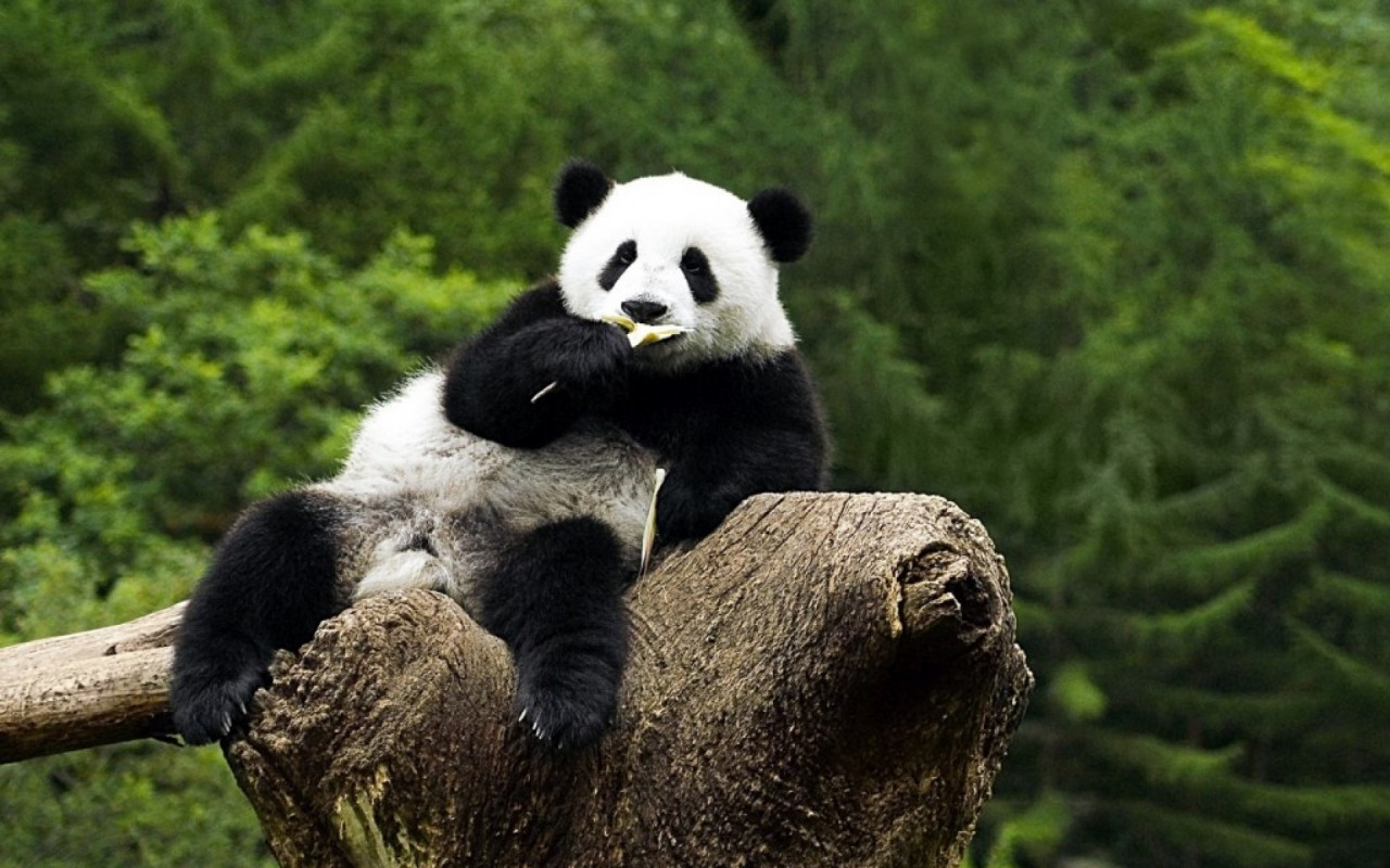 Relaxed Panda wallpapers
