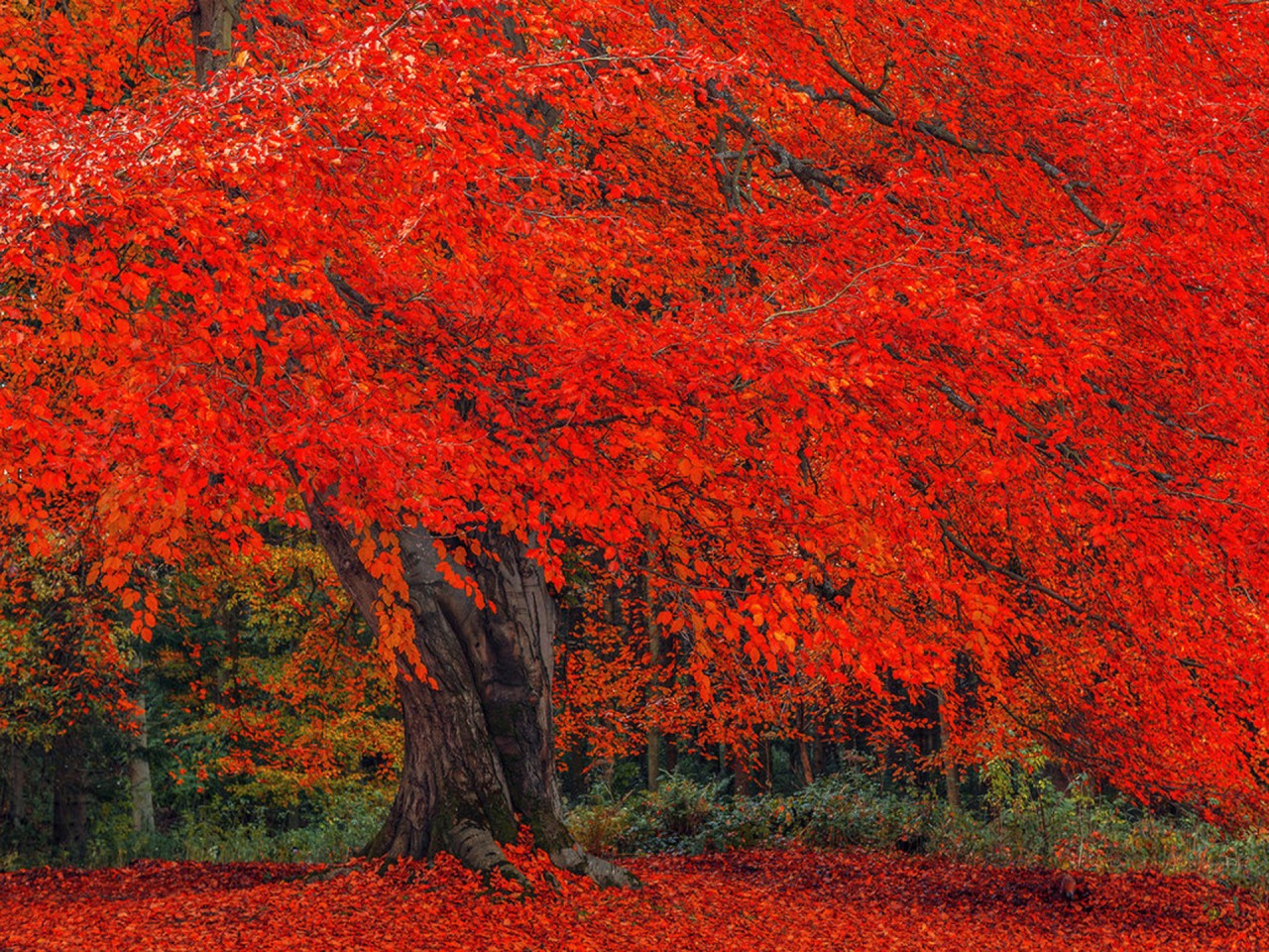 Luminous Red Autumn Tree wallpapers