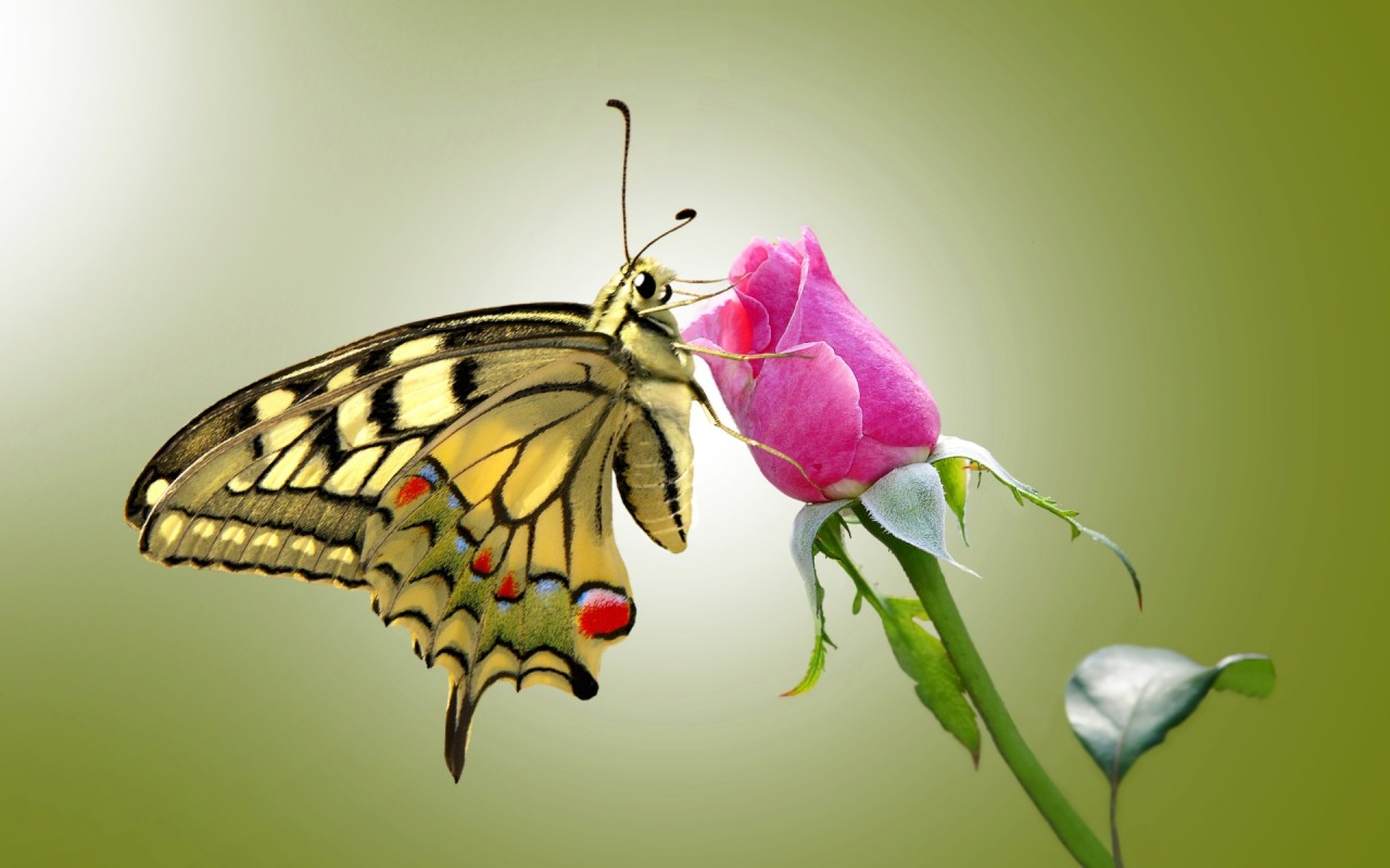 Butterfly & Pink Rose wallpapers