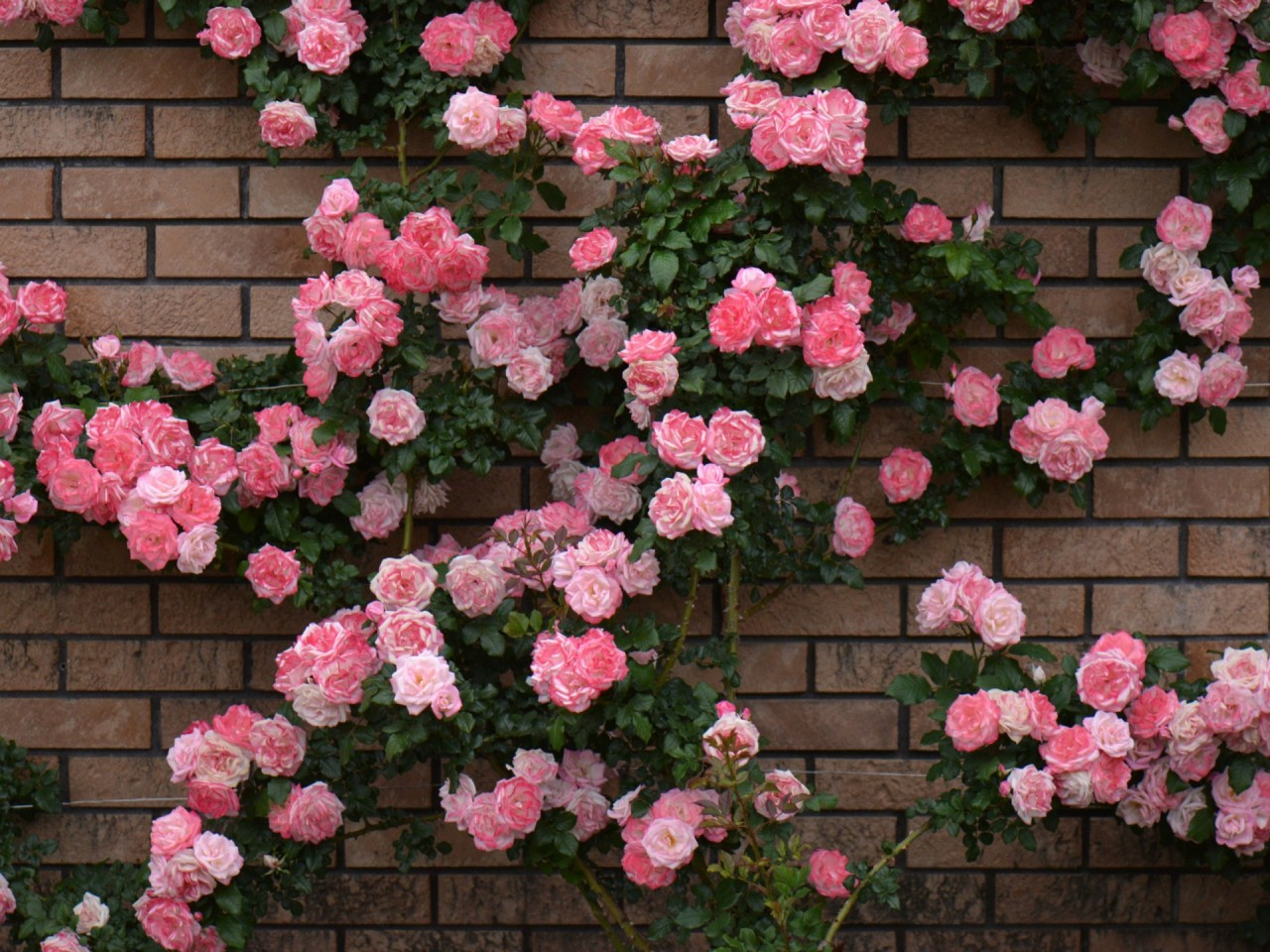 Rose Bush Amp Brick Wall Wallpapers Rose Bush Amp Brick Wall