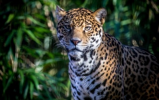 Leopard, animals wallpapers