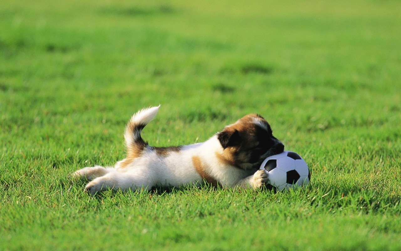 Soccer, puppies, balls, grass wallpapers