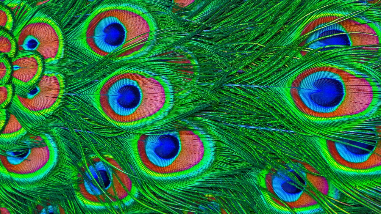 feathers, peacock, colorful wallpapers