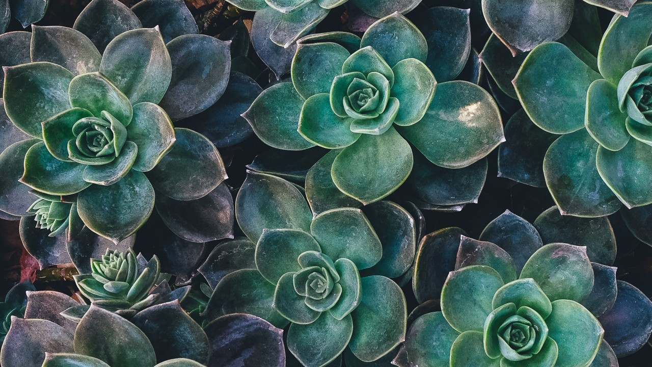 echeveria, succulents, plant wallpapers