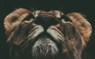 Lion Muzzle Look Up wallpapers