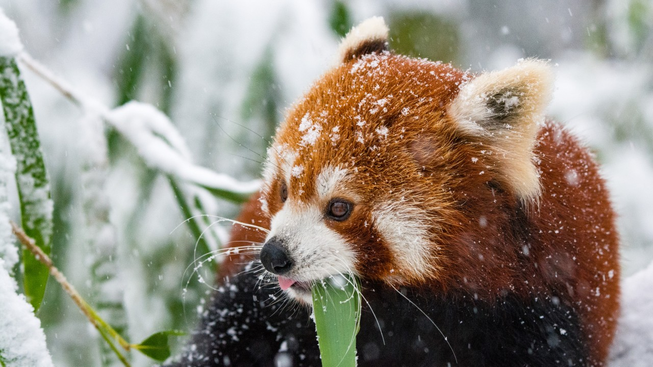Panda Red Panda Snow Walk wallpapers