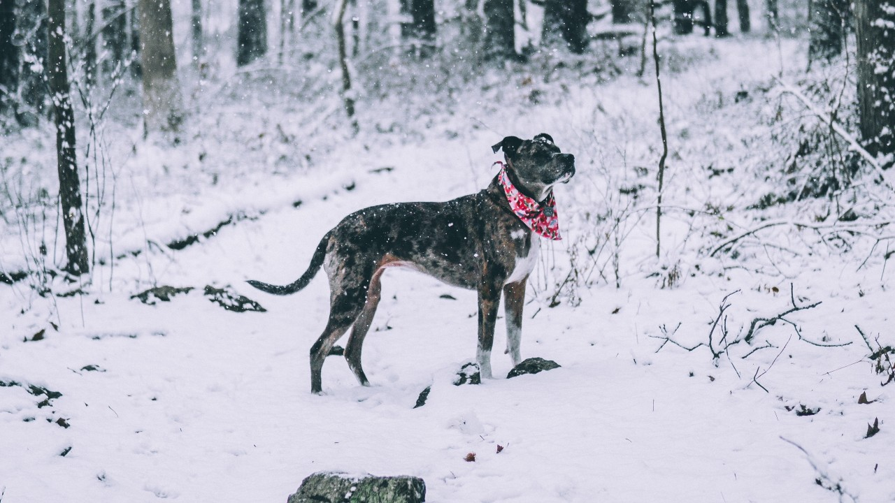 dog, winter, forest, walk wallpapers