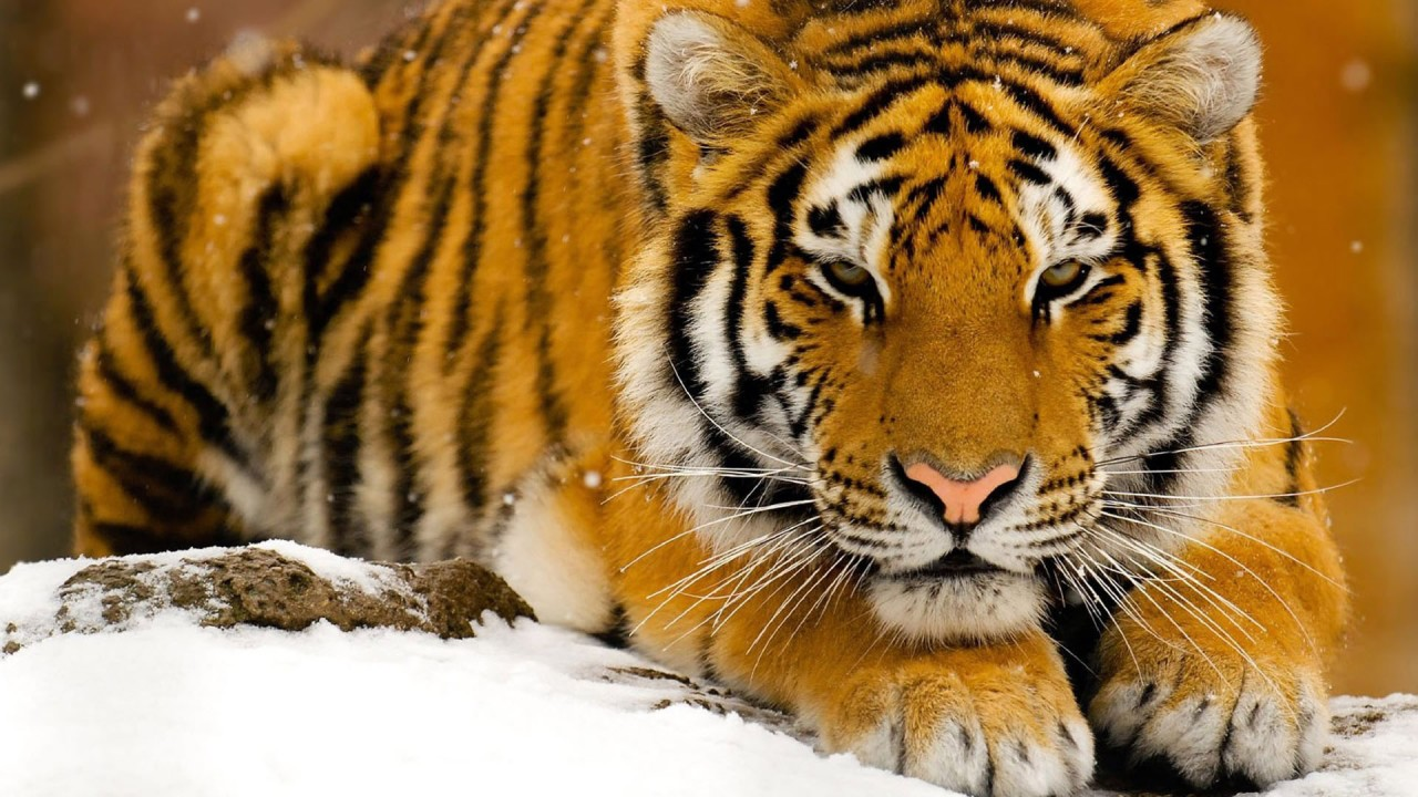 Tiger, animals wallpapers