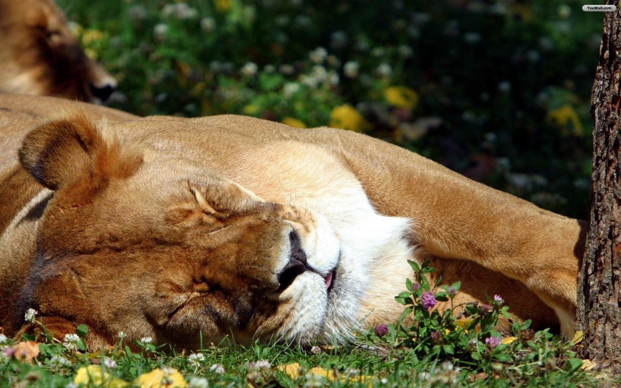 Sleeping Lion, animals wallpapers