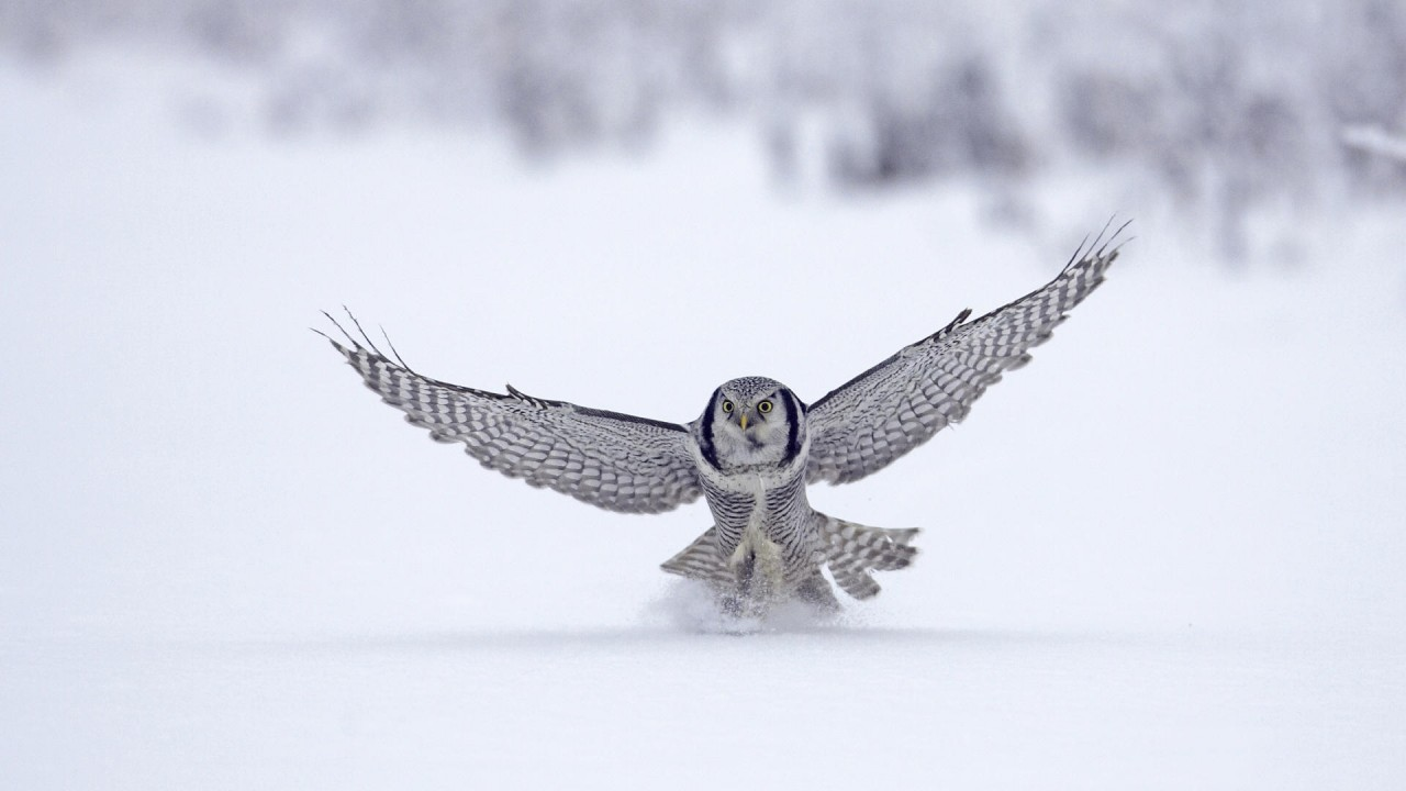 Snow Owl, white wallpapers
