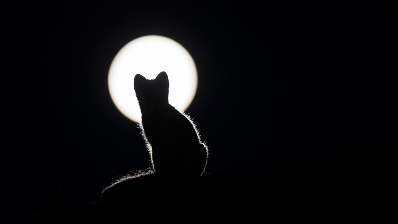 cat, silhouette, kitten, moon wallpapers