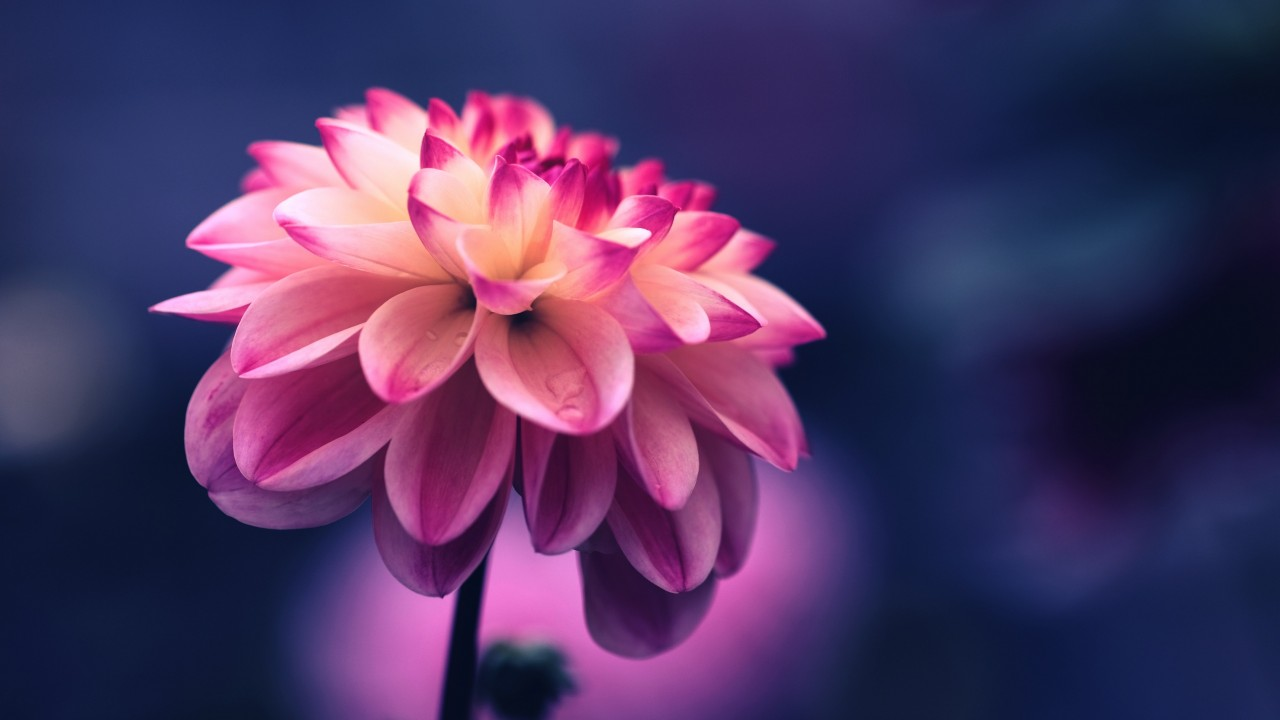 flower, pink, petals, bud wallpapers
