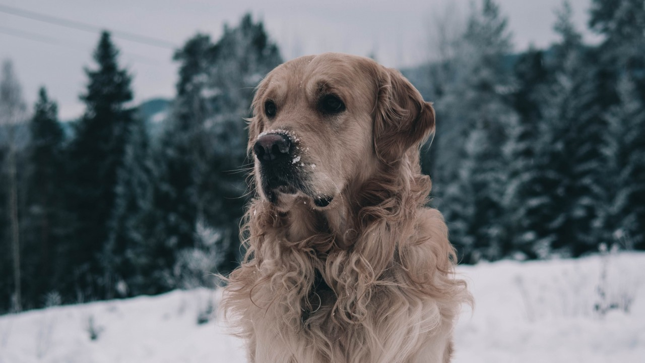 labrador, dog, muzzle, winter, wallpapers