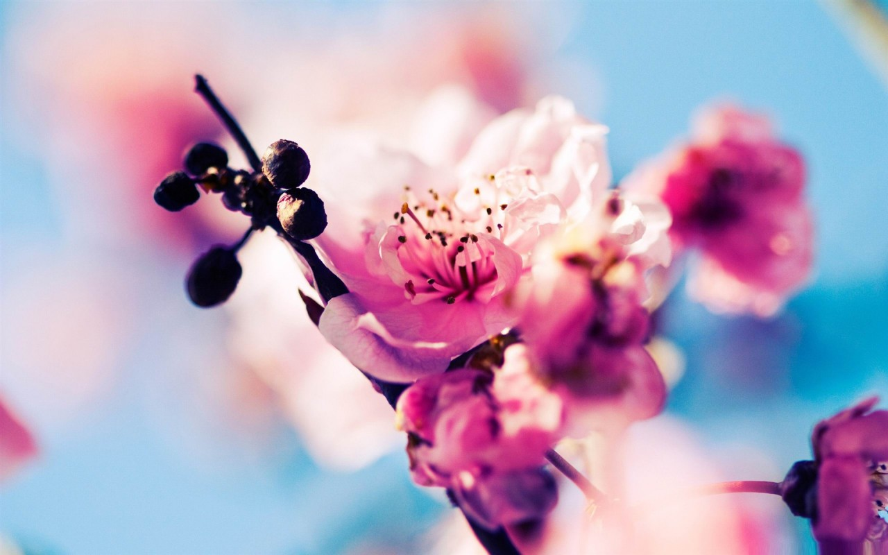 Cherry Blossom,  spring, macro wallpapers