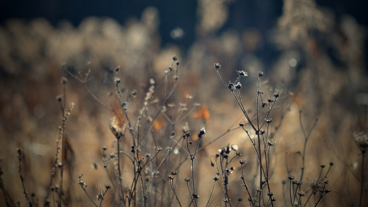 Dry plants, autumn, nature wallpapers