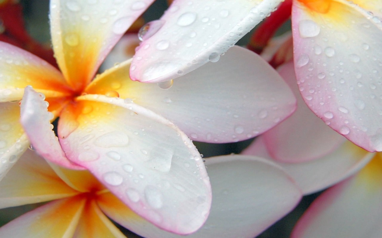 Nature Rain, plumeria, flowers, morning wallpapers