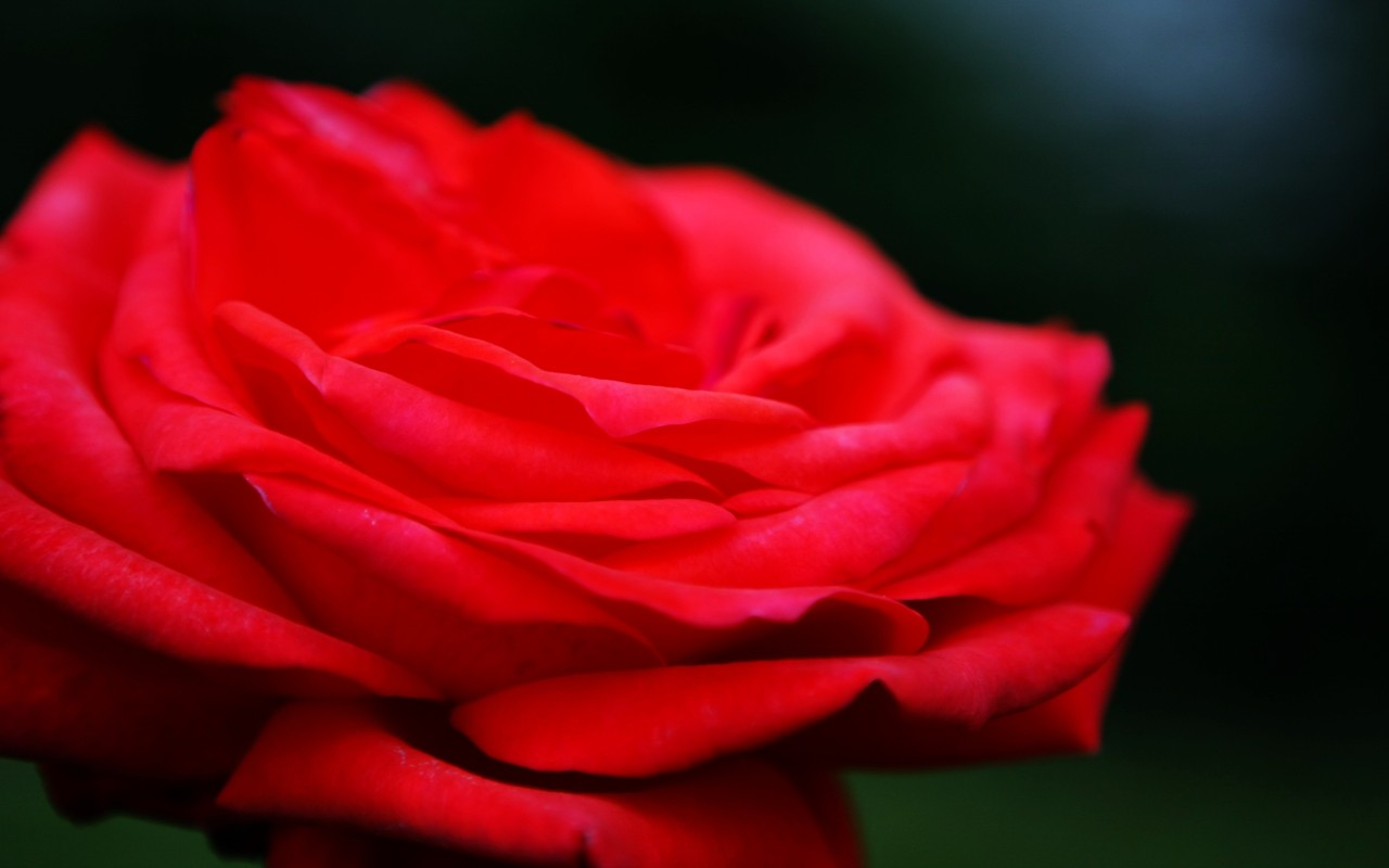 1920X1080 Red, flower, rose, flowers wallpapers