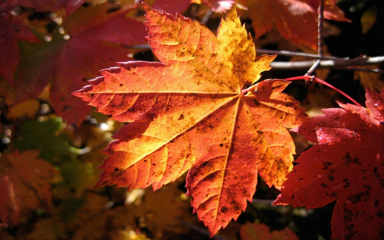 Autumn leaf, fall, nature wallpapers