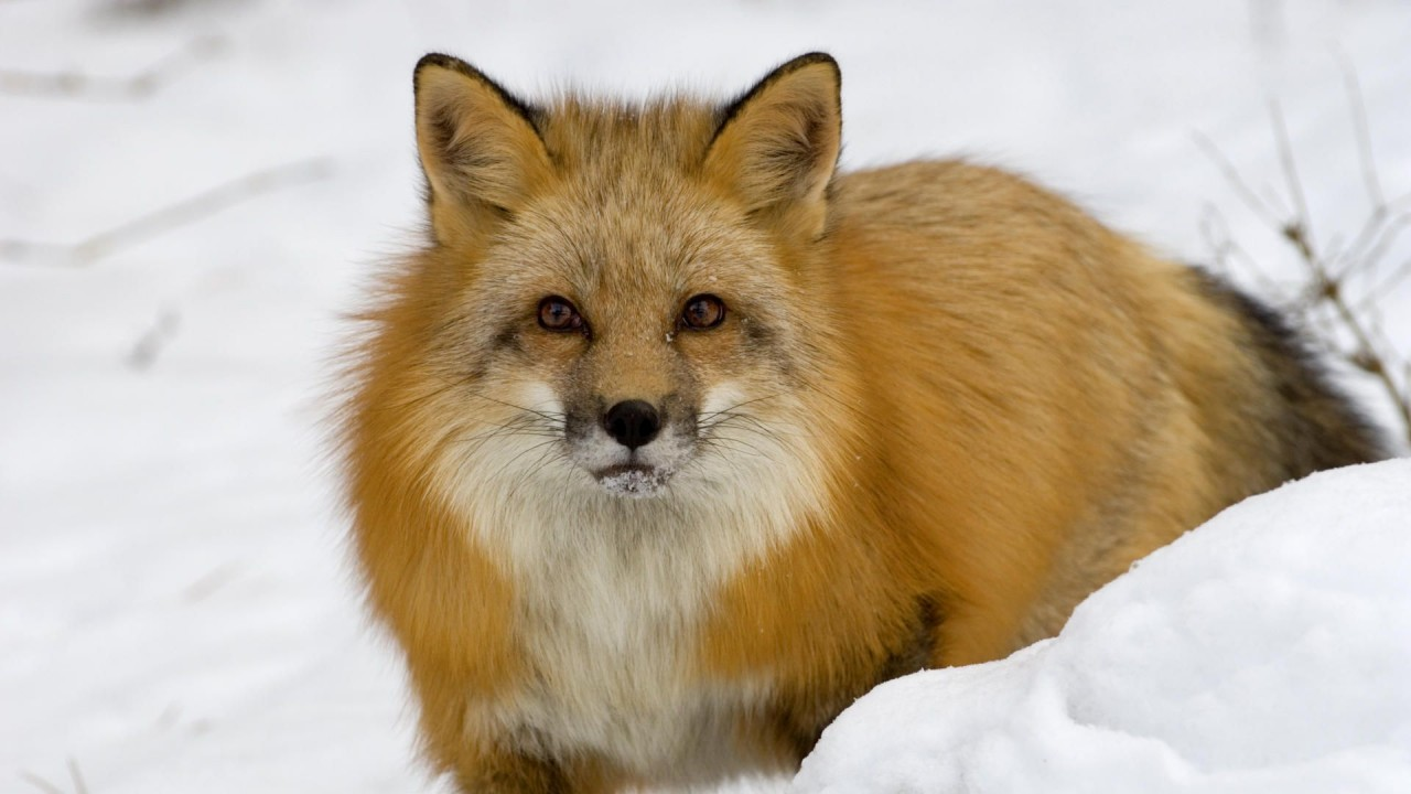 Fox in the snow, winter, animal, animals wallpapers