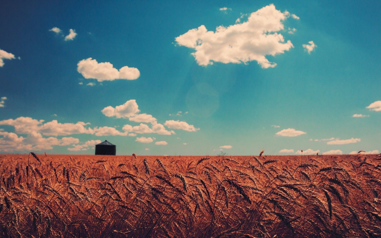 Barley field, sky, cloud, nature wallpapers