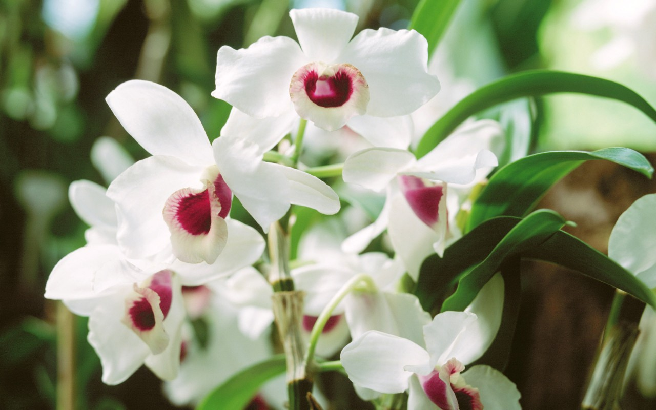 Orchid Flower,  web wallpapers
