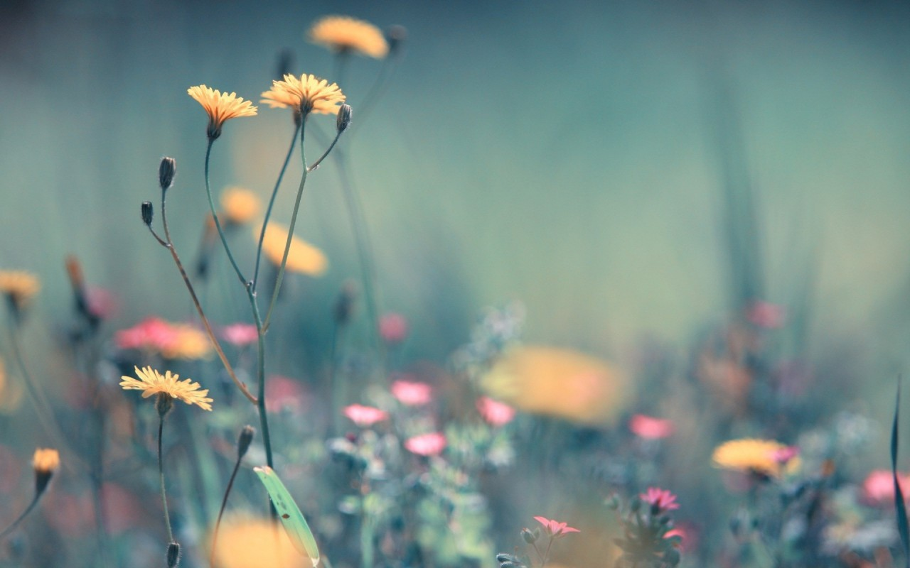 Dandelion, flower, flowers wallpapers