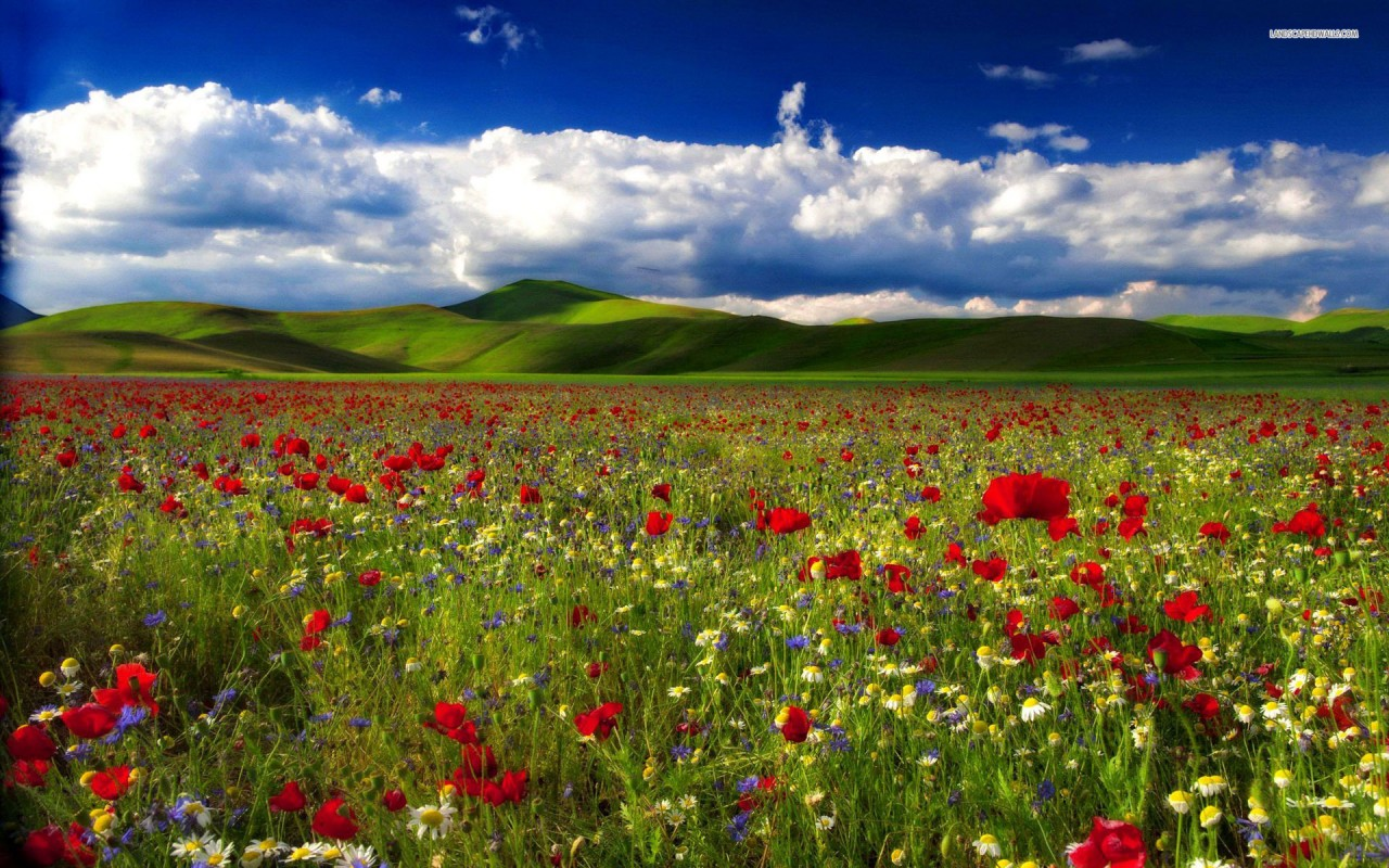 Poppy and Chamomille Field, hill, sky, cloud, nature wallpapers
