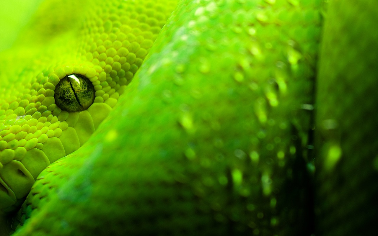 Snake, green, animals, animaux wallpapers