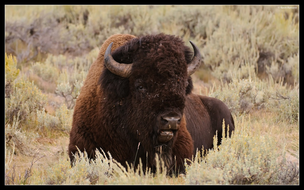 Buffalo, male wallpapers