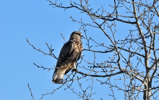 Hawk on the tree, bird, animal, animals wallpapers