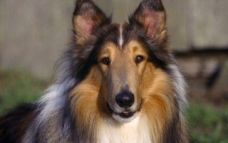 Collie Dog wallpapers